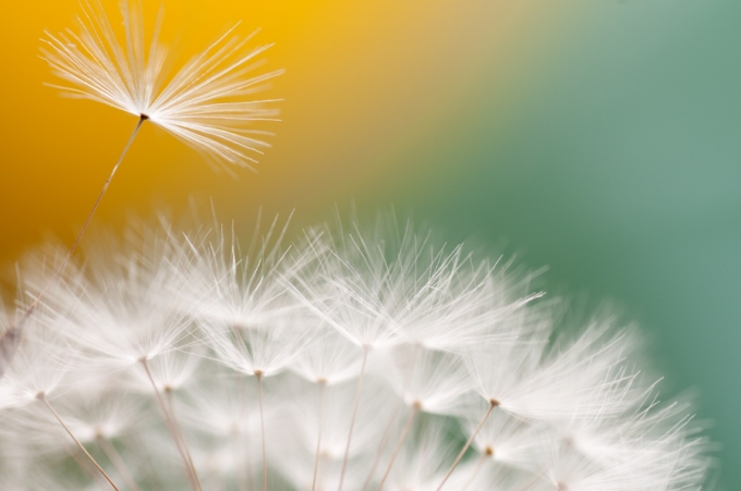 "Photo cred: ""dandelion fluuf"" by Silvermist (2011), from fotocommunity"